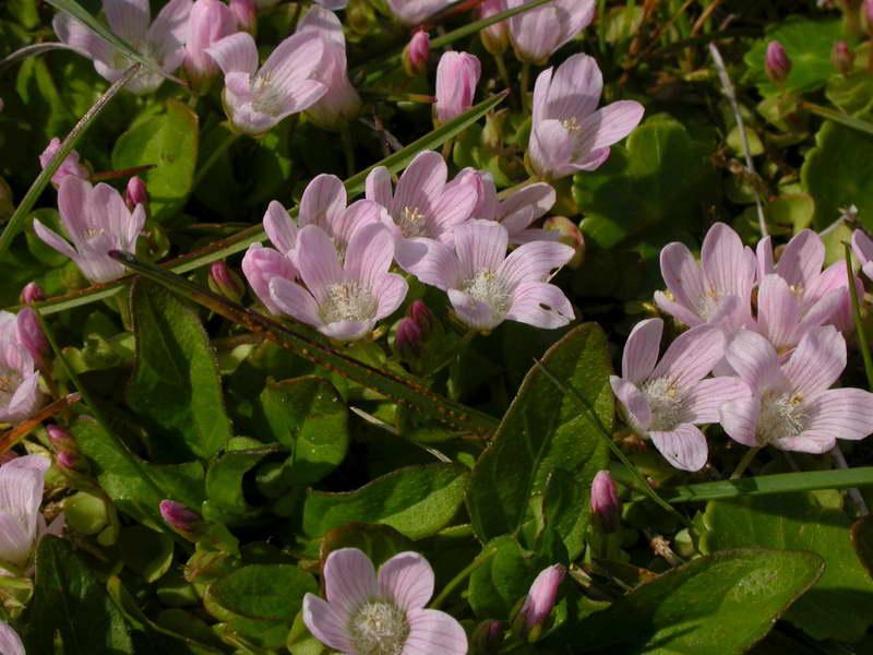 Анагаллис Тенелла Anagallis tenella фото