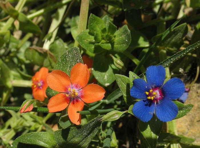 Анагаллис полевой Anagallis arvensis фото