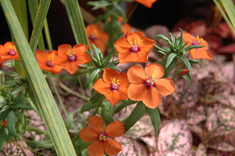 Анагаллис полевой алый первоцвет фото