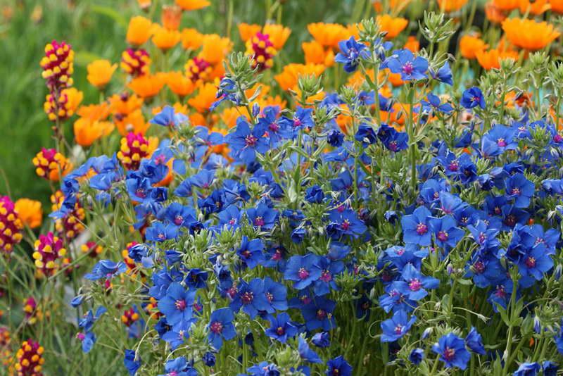 Анагаллис с другими цветами фото