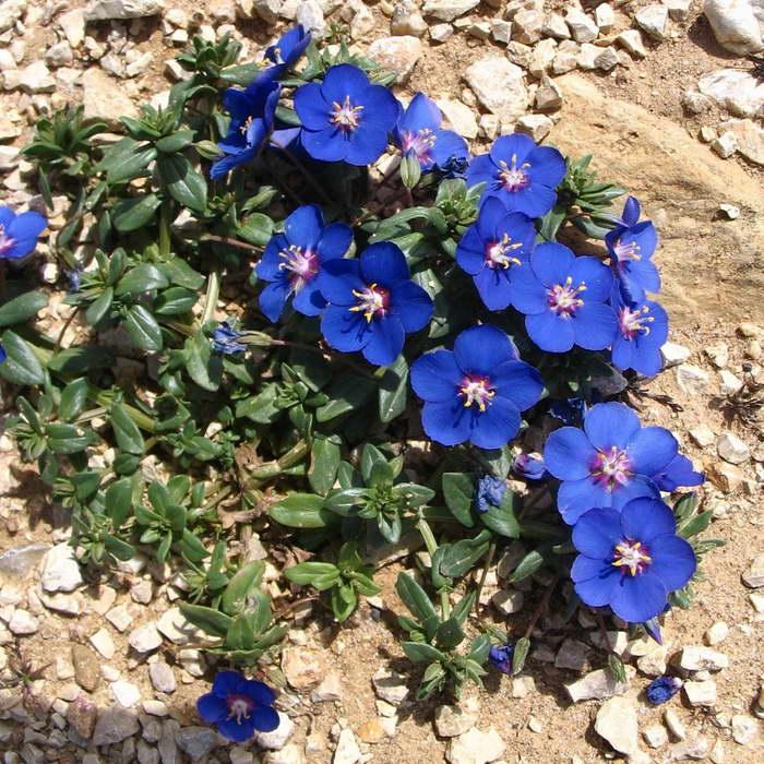 Анагаллис синий фото