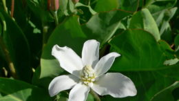 Анемопсис калифорнийский Anemopsis californica