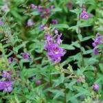 Вербена фото цветов рассада когда сажать