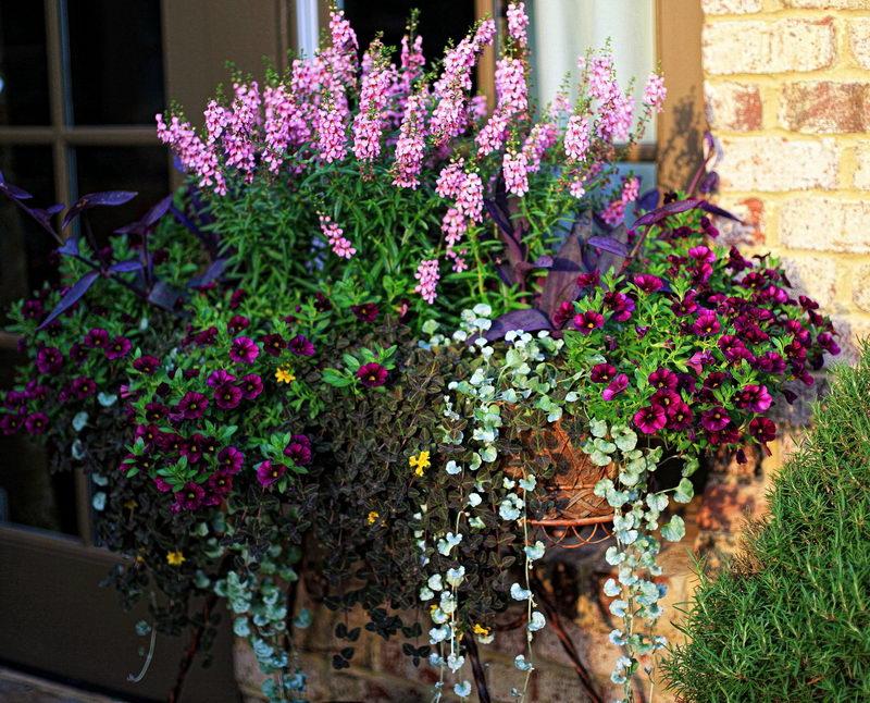 Ангелония серена serena фото цветов