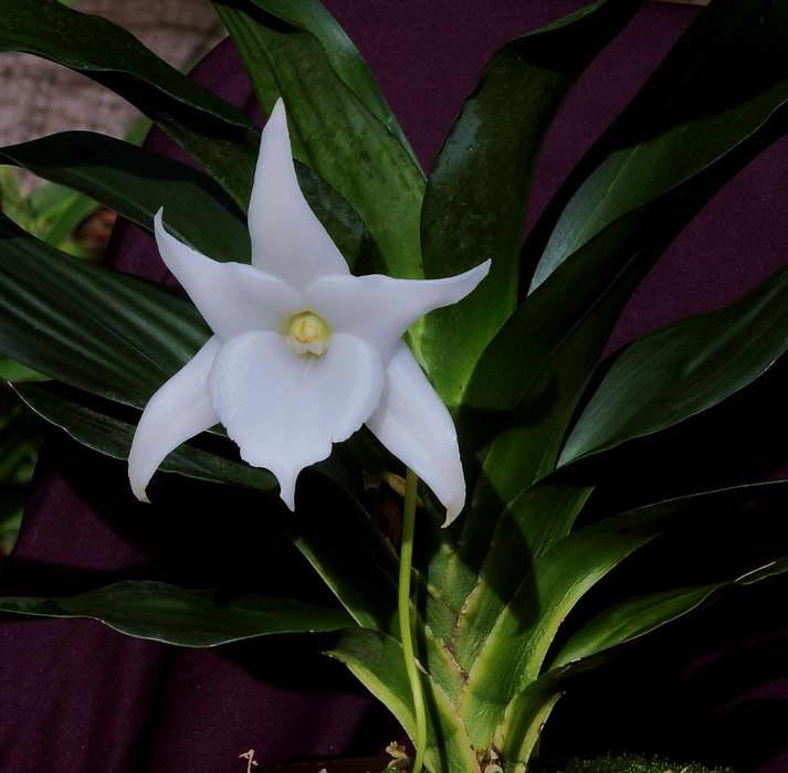 Ангрекум Лемфорд Белая красавица Angraecum Lemforde White Beauty фото