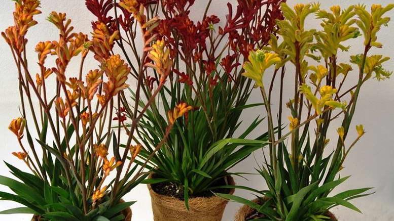 Анигозантос фото цветов Посадка и уход в домашних условиях