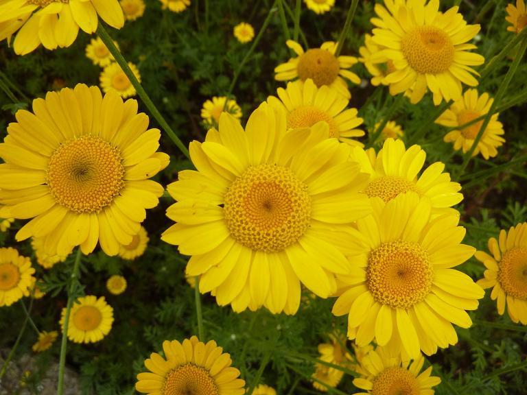 Антемис желтоцветный травянистые растения для открытого грунта