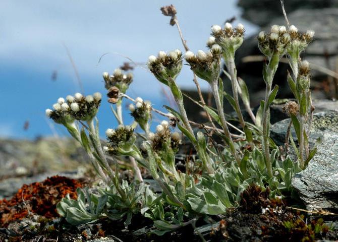 Антеннария альпийская Antennaria alpina