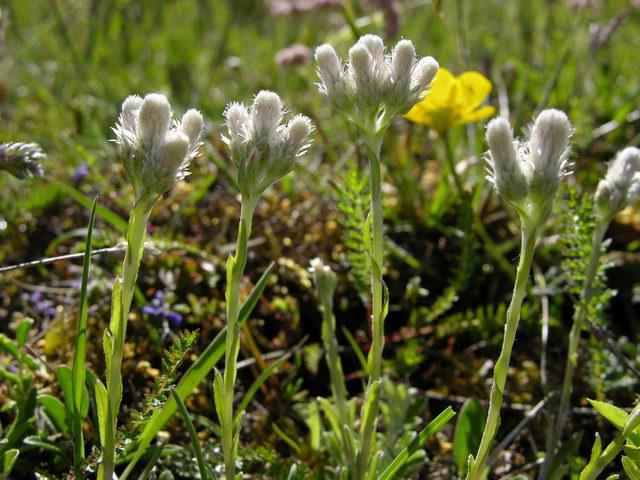 Антеннария двудомная Antennaria dioica фото