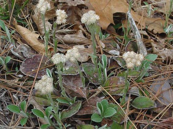 Антеннария подорожниколистная Antennaria plantaginifolia фото