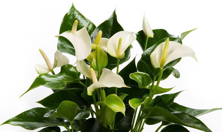 Антуриум белый Anthurium Andreanum White Champion фото