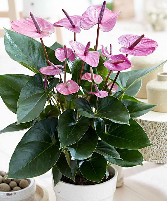 Антуриум Anthurium 'Cavalli' фото