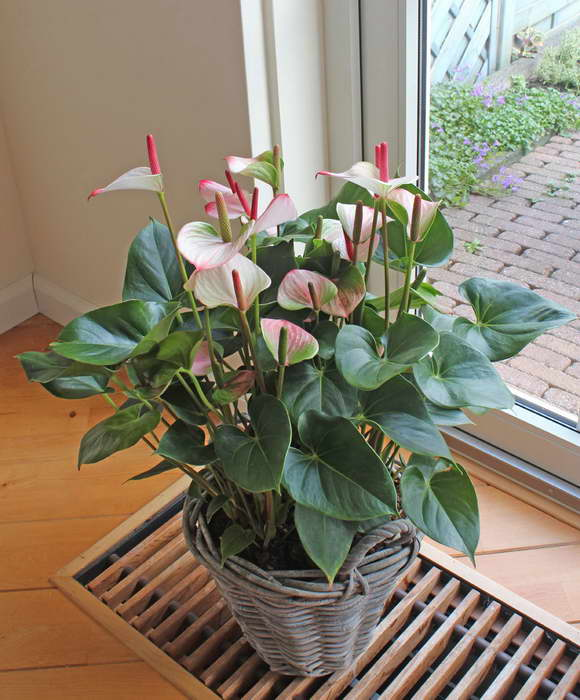 Антуриум Anthurium Princess Amalia Elegance фото