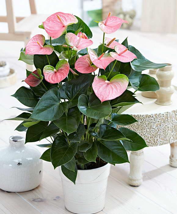 Антуриум Пандола Anthurium 'Pandola' фото