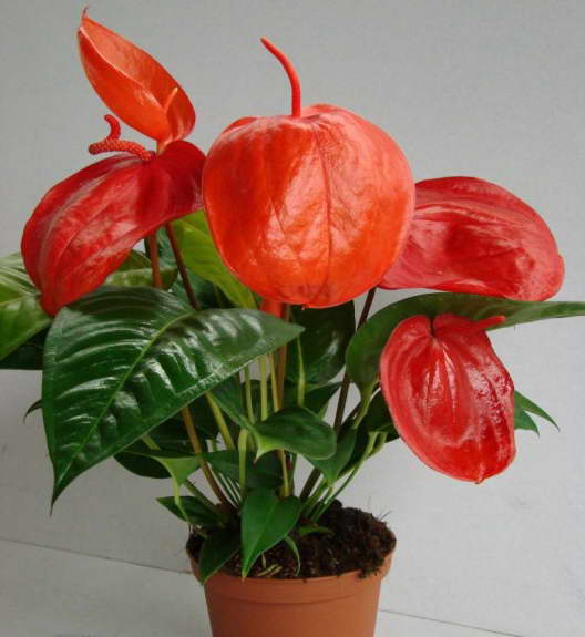Антуриум Шерцера Anthurium scherzerianum фото