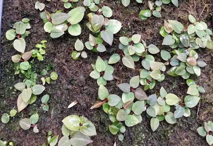 Антуриум из семян фото всходов через три недели после посева