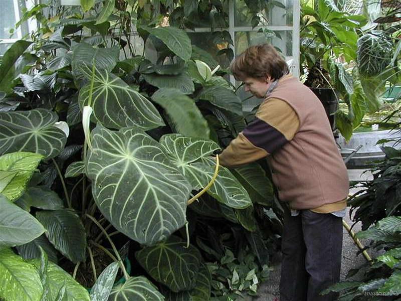 Антуриум величественный Anthurium magnificum фото