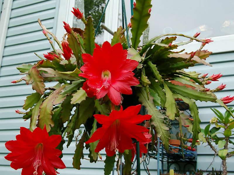 Апорокактус Аккермана Aporocactus ackermannii фото