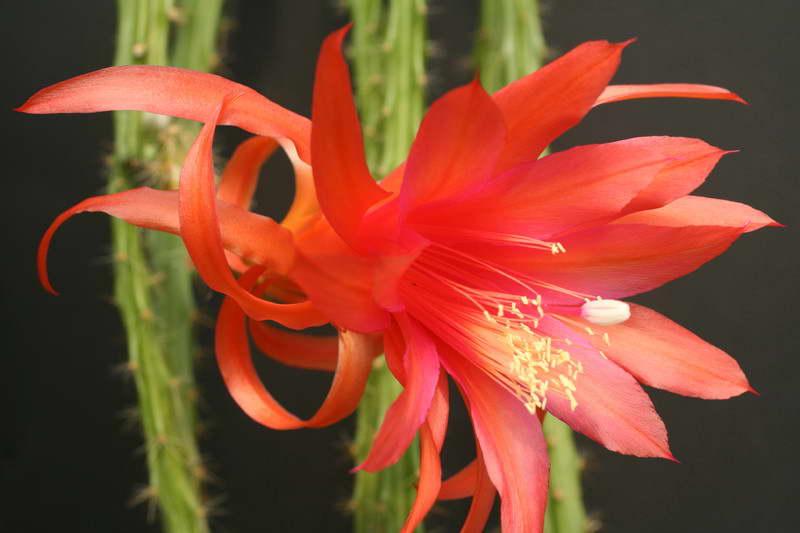 Апорокактус Концатти Aporocactus conzattii фото