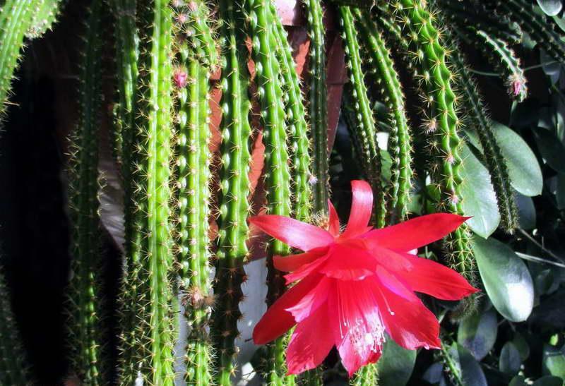 Апорокактус МаллисонаAporocactus mallisonii фото