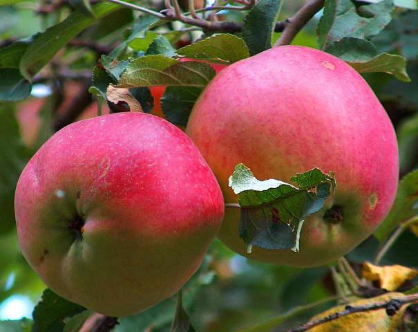 Апорт красный яблоня фото