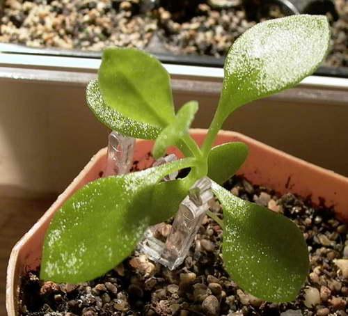 Аптения из семян фото рассады