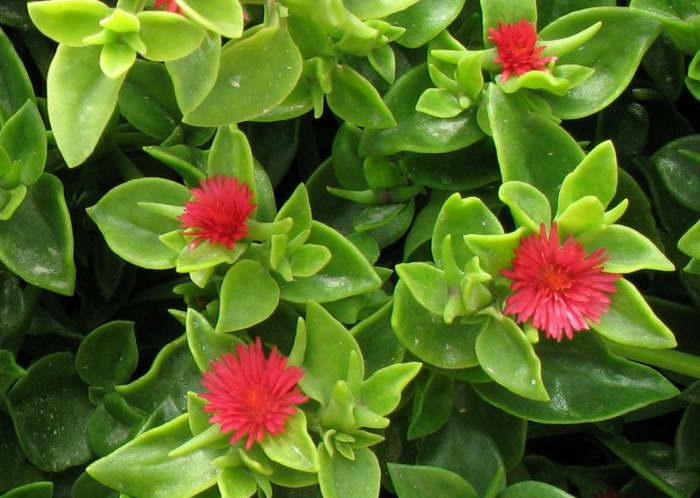 Аптения ланцетолистная Aptenia lancifolia фото