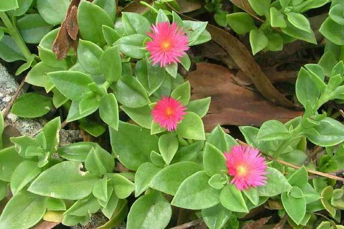 Аптения сердцелистная Aptenia cordifolia