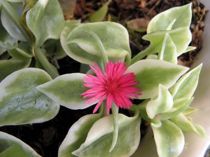 Аптения сердцелистная вариегатная Aptenia cordifolia Variegata фото