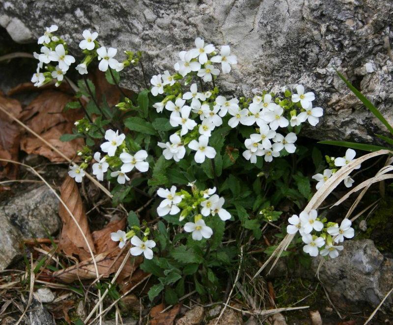 Арабис альпийский Arabis alpina фото