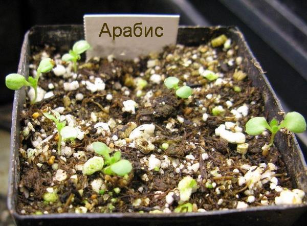 Арабис альпийский выращивание из семян когда сажать
