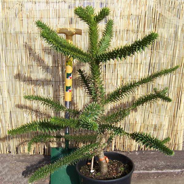 Араукария чилийская Araucaria araucana фото