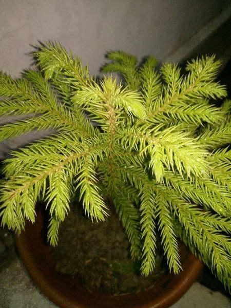 Араукария колонновидная или Араукария Кука Araucaria columnaris фото