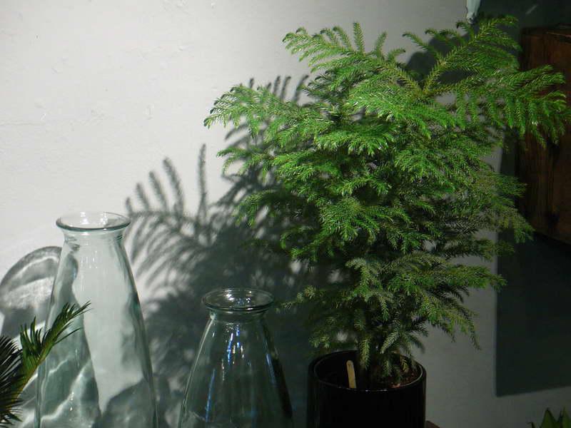 Араукария комнатное растение размножение и уход в домашних условиях фото