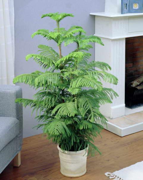 Араукария разнолистная, Комнатная ель, Норфолкская сосна Araucaria heterophylla фото