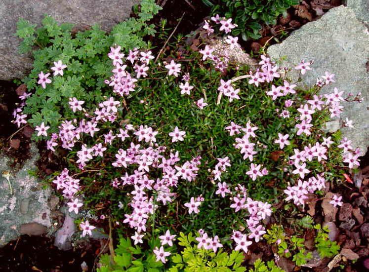 Аренария багряная посадка и уход фото цветов