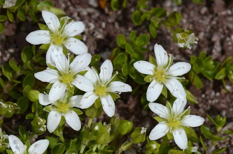 Аренария двулистная Arenaria biflora фото