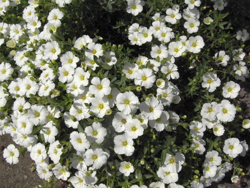 Аренария горная Arenaria montana фото