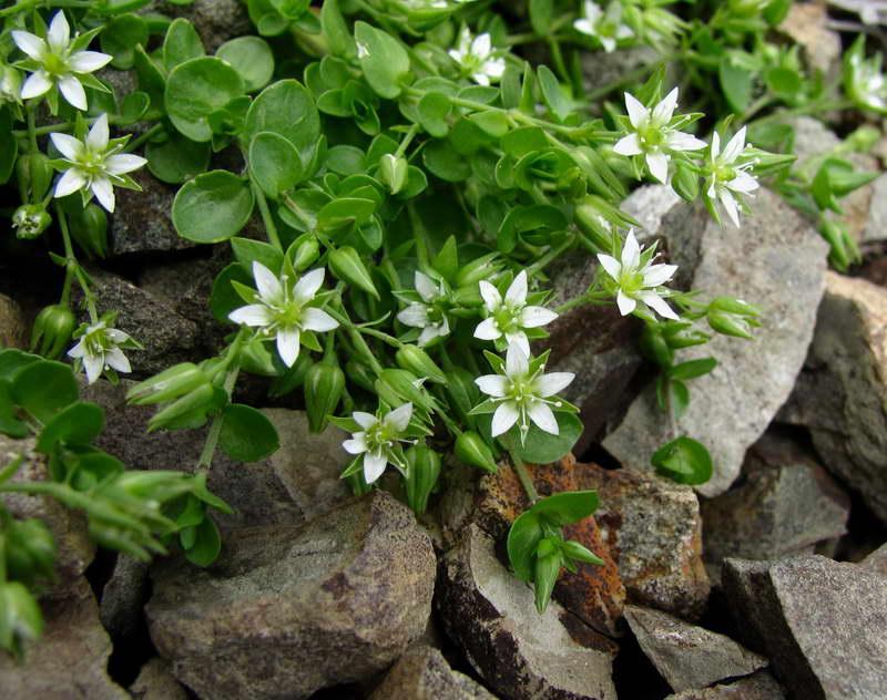 Аренария круглолистная Arenaria rotundifolia фото