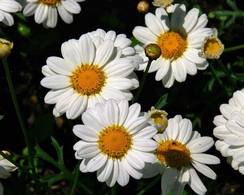 Аргирантемум выращивание Argyranthemum Frutescens Madeira White
