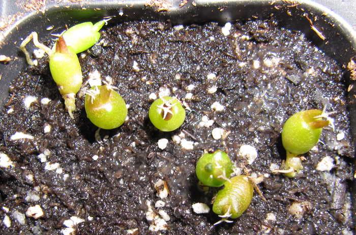 Ариокарпус из семян фото всходов