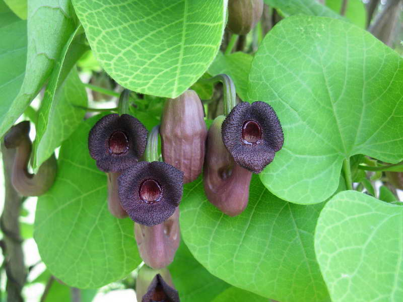 Аристолохия манчьжурская Aristolochia manshuriensis фото цветения