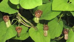Аристолохия маньчжурская и крупнолистная выращивание и уход