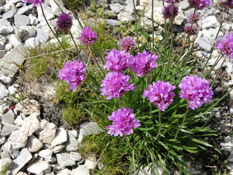 Армерия альпийская Armeria alpina фото