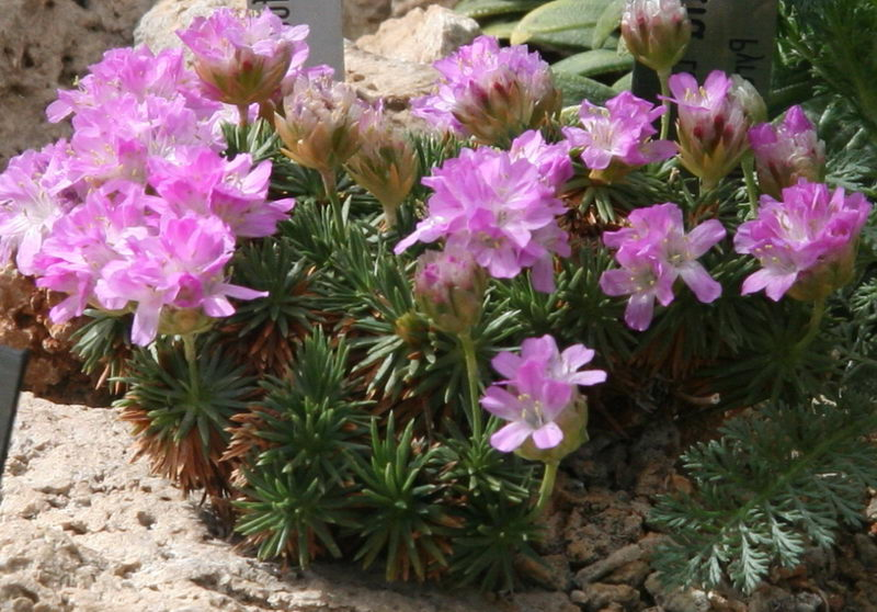 Армерия дернистая армерия можжевеловолистная Armeria juniperifolia Armeria cespitosa