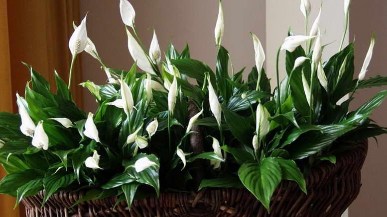 Ароидные растения фото и названия
