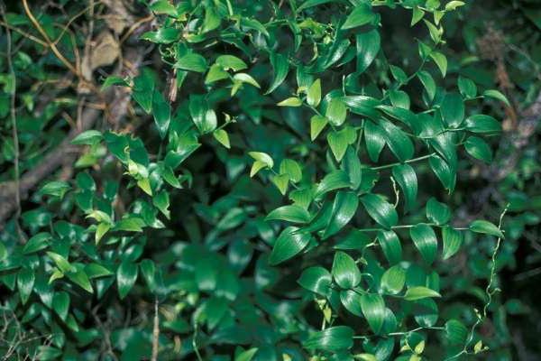 Аспарагус аспарагусовидный или спаржевидный Asparagus asparagoides