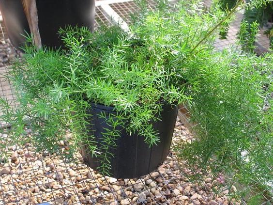 Аспарагус густоцветковый Шпрингера Asparagus sprengeri