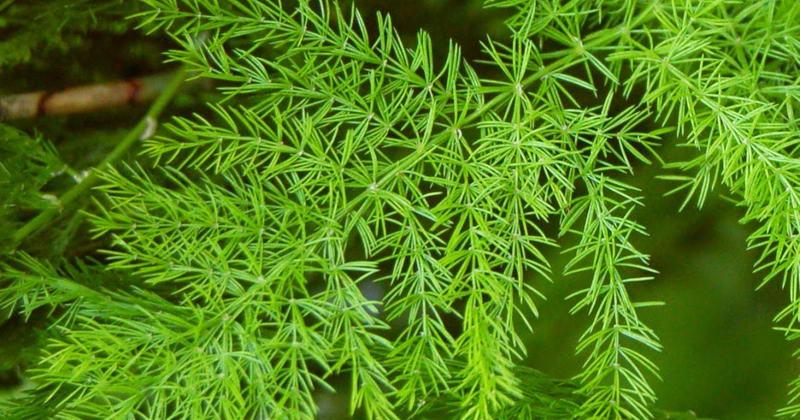 Аспарагус кистевидный Asparagus racemosus фото