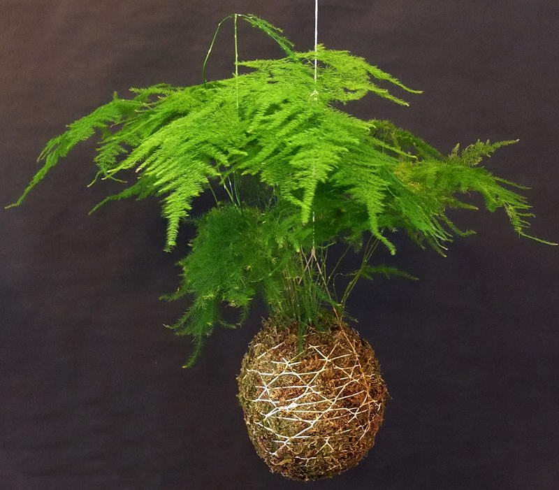 Аспарагус перистый Asparagus plumosus фото